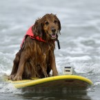 King, a nine-year-old golden retriever rides a wave (AP Photo/Gregory Bull)
