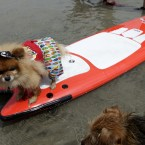 Mickey, a Pomeranian, stands on a surfboard (AP Photo/Gregory Bull)