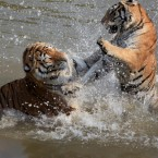 Slaps and splashes at the Huangshan Mountain Tiger Park. (Photo by Shi Guangde/ChinaFotoPress/PA)
