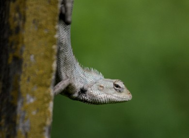 An Indian garden lizard hangs from a pole at the Alipore Zoological Gardens in Kolkata, India.
