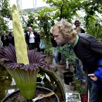 An Amorphophallus titanum has bloomed for the first time in Denmark. This may be a somewhat mixed blessing, because the giant plant smells strongly of rotten meat and therefore has been nicknamed Corpse Flower or Mr Stinky. (Jacob Ehrbahn/POLFOTO/PA Images)