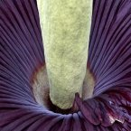 Close-up of the aforementioned Amorphophallus titanum (Jacob Ehrbahn/POLFOTO/PA Images)