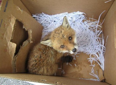 A recently orphaned fox cub in need of assistance.