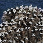 A small portion of around 250,000 seabirds crowding the cliffs at the RSPB Nature Reserve at Bempton Cliffs in England - they will fly away in August for their winter grounds. (John Giles/PA Wire)
