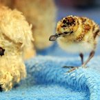 A spoon-billed sandpiper chick walks past a soft toy at the Wildfowl and Wetlands Trust (WWT) centre in Slimbridge, Gloucestershire. (PA)