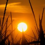 The sun rises in Pleasant Plains, Illinois. Corn stalks are struggling in the heat and continuing drought that has overcome most of the country: all of Illinois is officially in a drought, and Governor Pat Quinn plans a trip to southern Illinois to discuss the state's plans for responding to dry conditions. (AP Photo/Seth Perlman)