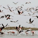 A flock of Flamingos is seen at the Nal Sarovar bird sanctuary, about 75 kms from Ahmadabad, India,. Nal Sarovar Bird Sanctuary, consisting primarily of a huge lake and ambient marshes, is situated near Sanand town, in the western Indian state of Gujarat. (AP Photo/Ajit Solanki)