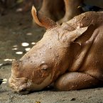 A mud covered three-month old male African Southern Rhino named Jumaane, looks at a Minor bird at the Singapore Zoo. (AP Photo/Wong Maye-E)
