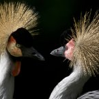 Two Grey Crowned Cranes look at each other in their enclosure at the Berlin Zoo in Berlin, Germany. (AP Photo/Gero Breloer)