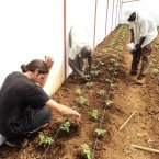 Weeding the plants and adding compost at the greenhouse in Sarambei