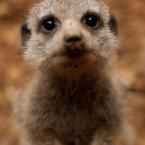A curious baby meerkat at Chester Zoo is curious.