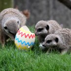 Meerkats in Stirling get an early Easter treat of Ostrich and Rheas eggs filled with meal worms. Sounds scrumptious.