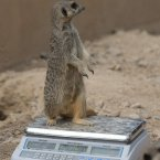 Happy as a meerkat on a weighing scales.