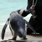 A penguin tries to steal keys belonging to zoo-keeper Vicky Fyson as she weighs his penguin friends. (Image: Rebecca Naden/PA Wire)
