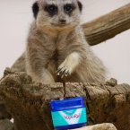 Want to know what's actually going on here? VapoRub seemingly stops meerkats from fighting! Really.