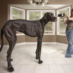 €œA 3 year-old Great Dane called Zeus from Michigan, USA, is featured in the new Guinness World Records 2013 book, as the tallest dog ever, measuring 111.8 cm (44 in) from foot to withers. Standing on hind legs, Zeus stretches to 7 ft 4 in and towers over his owner Denise Doorlag. He weighs 70.3 kg (155 pounds or 11 stone) and eats around 1 bag of dog food a day. 