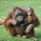 Baby orang-utan Mujur celebrates her first birthday, with her mother Maggie at Dublin Zoo. The birthday cake made of fruits and veg is in the background. (Leon Farrell/Photocall Ireland)