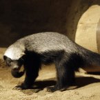 Cert, a honey badger at a Prague zoo is sad after his partner, Kaca escaped in 2010. She probably climbed over a six-foot-high fence to freedom! Go Kaca! Pavel Brandl who is in charge of mammals at the Czech zoo, confirmed that the honey badger is considered the most fearless animal in the world. (AP Photo/Petr David Josek)