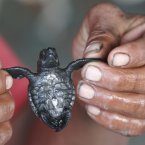 A man holds a newborn turtle before liberating it on Toluca Beach on the outskirts of El Salvador. (AP Photo/Luis Romero)