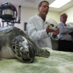 Holden III, an endangered juvenile green seat turtle, lies on a table as Dr. Greg Lewbart uses a turtle skull to explain the animal's wounds at North Carolina State University. He eventually underwent experimental surgery to repair a deep skull wound. Awwwww. (AP Photo/Allen Breed)