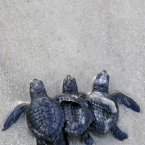 A trio of Kemp's ridley turtle hatchlings make their way through the surf after being released into the Gulf of Mexico in 2010. (AP Photo/Pat Sullivan)