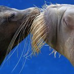 A California sea lion and a walrus kiss each other during a show at the Hakkeijima Sea Paradise aquarium-amusement park complex in Yokohama, southwest of Tokyo. (AP Photo/Itsuo Inouye)