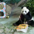 8-year-old male panda Tuan Tuan eats his