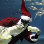 Dressed in Santa Claus outfits, a diver feeds a turtle at Coex Aquarium in Seoul, South Korea. (AP Photo/ Lee Jin-man)