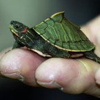 A young Indian roofed turtle crawls on the fingers of a custom officer during a news conference on wildlife seized in Bangkok, Thailand. (AP Photo/Apichart Weerawong)