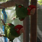 Wild cerry-headed conures call San Francisco home and have become a given of city life, squawking their way to their favourite spots, delighting tourists. The famous flock is now about 300 strong, more than triple what it was 10 years ago. (AP Photo/Jeff Chiu)