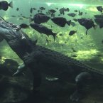 A 700kg crocodile called Rex calmly  waits just beneath the water for a feed after coming out of a three month hibernation at the Sydney Wildlife world in Sydney, Australia. Rex who has been a resident of the park since 2009, was a so-called rogue crocodile that was captured in the Northern Territory when his taste for local pet dogs drew him too close to the human population. (AP Photo/Rob Griffith)