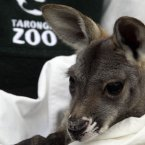 A red kangaroo joey is nursed by an animal keeper at Taronga Zoo in Sydney last year. (AP Photo/Rob Griffith)
