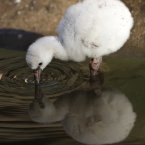 FACT: Baby flamingos can take up to two or three years to fully develop the pink feathers of mature adults. (AP Photo/Ted S. Warren)