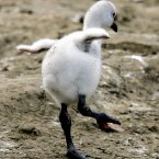 A newly hatched flamingo tries to stand on one leg.