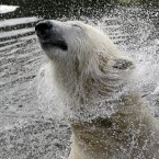 A polar bear shakes its head in its enclosure at the Zoo in Berlin, Germany. A monument to the polar bear Knut was unveiled at the zoo on Wednesday morning. Polar bear Knut became a global celebrity before his sudden death last year. (AP Photo/Michael Sohn)