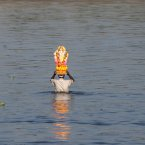 A devotee carries an idol of elephant-headed Hindu God, Ganesha, for immersion in the River Yamuna on the last day of the ten-day long Ganesh Chaturthi festival in New Delhi, India. (AP Photo/Tsering Topgyal)