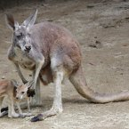 This photo shows the 12-year-old red kangaroo Butii (over 100 years old in the human equivalent) taking care of her baby at Tobe Zoological Park in western Japan. The mother kangaroo, almost blind from cataracts, has been successfully raising the joey, said to be six months old, with close monitoring by zoo keepers. (Kyodo)
