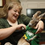 Christie Carr dresses her kangaroo, Irwin, in a shirt. (AP Photo/Sue Ogrocki)