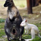 A red kangaroo albino cub is seen with it's mother at a zoo in Spisska Nova Ves, Slovakia.