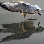 A river gull flies and collects food reflecting its own image over the Sava river, in Belgrade, Serbia. (AP Photo/Darko Vojinovic)
