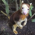A Matschie's Tree Kangaroo, the only one at the Singapore Zoo is seen in the Fragile Forest section which houses animals in danger of extinction. (AP Photo/Wong Maye-E)