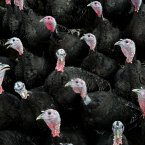 Turkeys pictured on Gerry McEvoy's turkey farm today in Sallins, Co Kildare preparing for the Christmas season. 