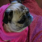 Another pug dresses for the occasion of winter. Typical pug. (audreyjm529/Flickr)
