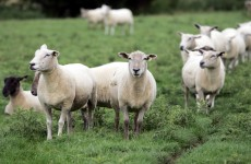 ICSA calls for government action on sheep thefts