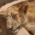 A lion cub sleeps at a nature reserve near Johannesburg, South Africa. (AP Photo/Jon Gambrell)