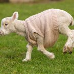 Jack Frost the lamb gears up for winter with a woolly jumper. He won't be paying any hefty heating bills this year. No way, no how. (Chris Ison/PA Wire)