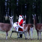 Alan Leach does his morning round dressed as Santa on Christmas Day feeding the llamas at Blair Drummond Safari Park near Stirling.
