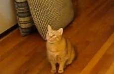 This cat can speak Spanish and English (video)