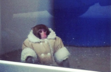 Monkey found at Ikea… wearing nice warm coat and nappy