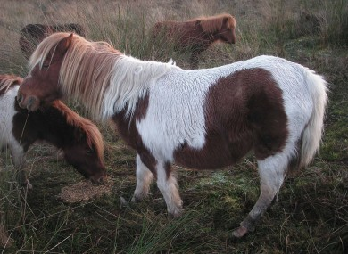 The four ponies rescued by the ISPCA